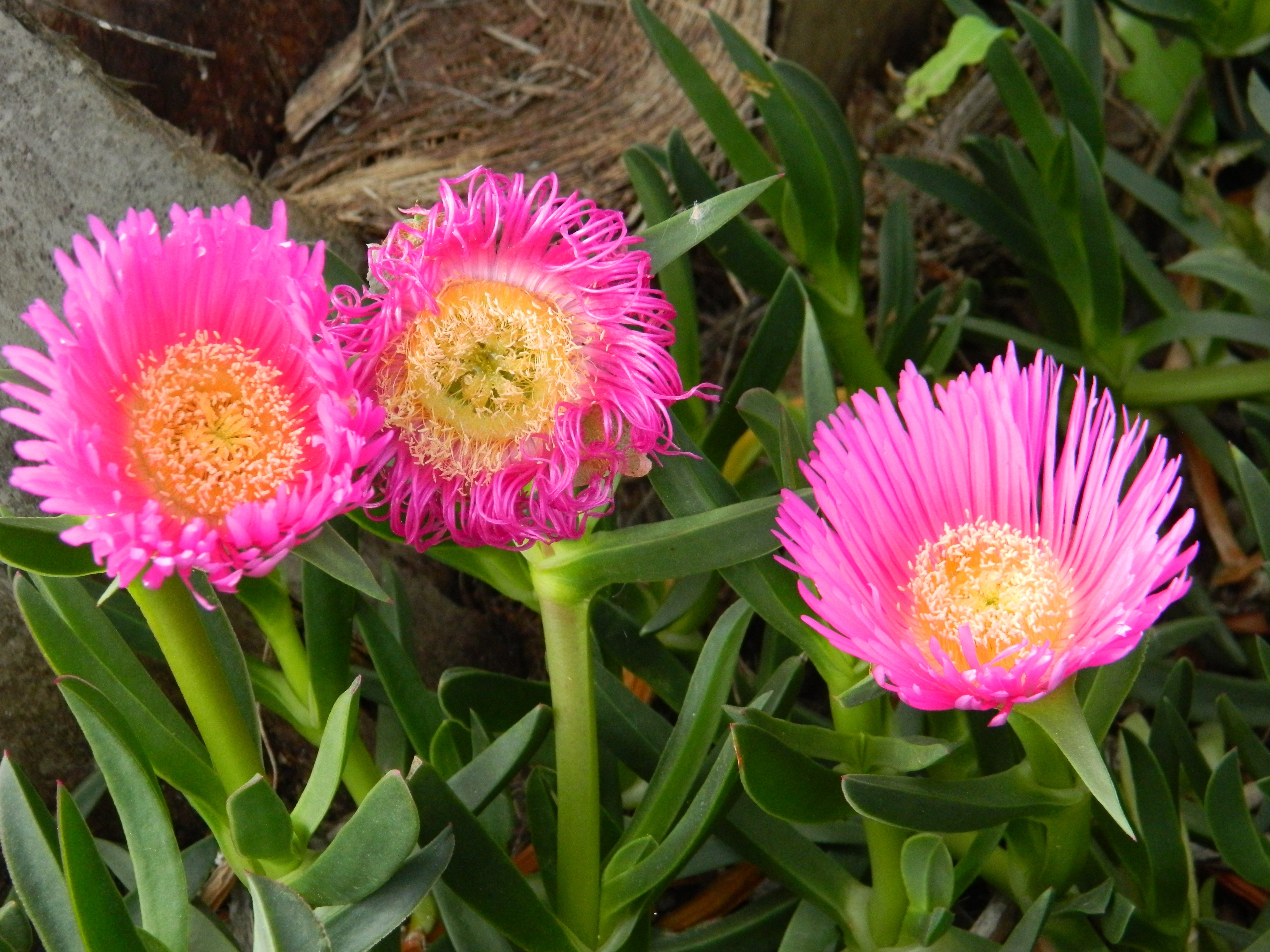 Julie Jowett tells me these are an ice plant. So beautiful.