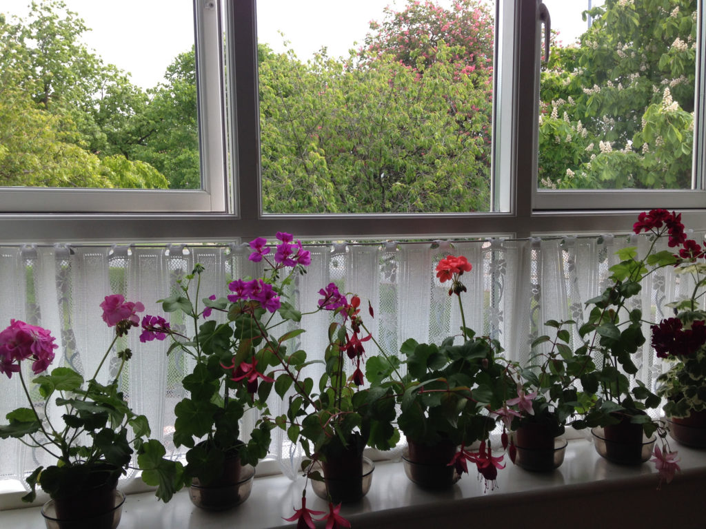 Geraniums on my mother's window sill.